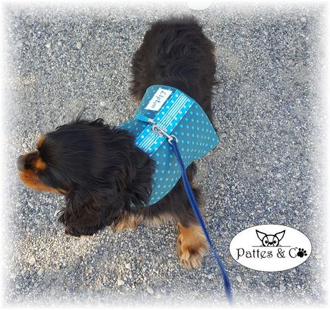 Cavalier King Charles avec harnais Pattes & Co